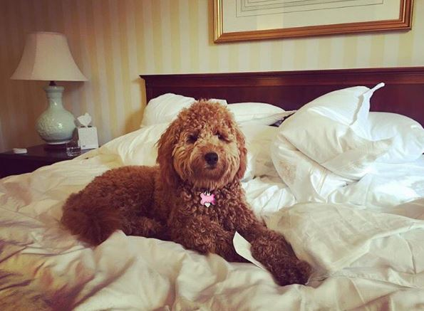 "Lucy the Doodle says, ""Suite life is ruff."" Your four-legged friends will love staying at our pet friendly hotel in the heart of the New Orleans French Quarter. (Photo courtesy Instagram user @ourlucydoodle)"