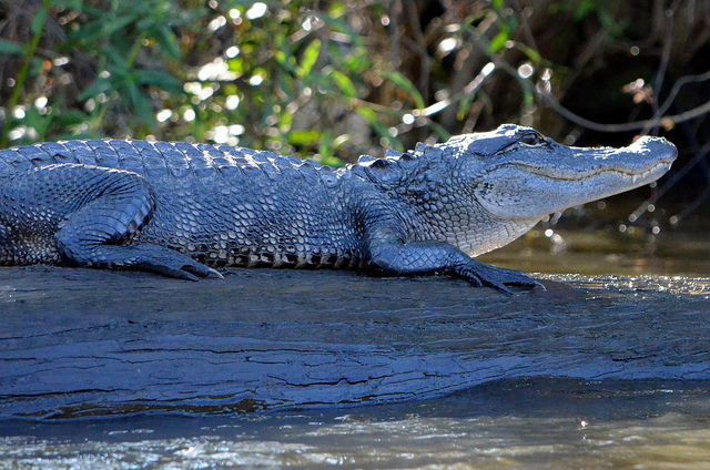 Visit nearby Jean Lafitte Barataria Preserve or Honey Island Swamp for a chance to see alligators in their natural habitat. (Photo courtesy Angela N., via Flickr)